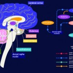 Brain Areas Affected by Generalized Anxiety Disorder